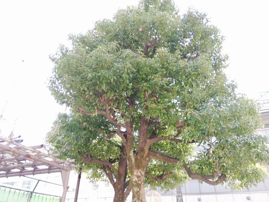 東三児童公園 大きな木