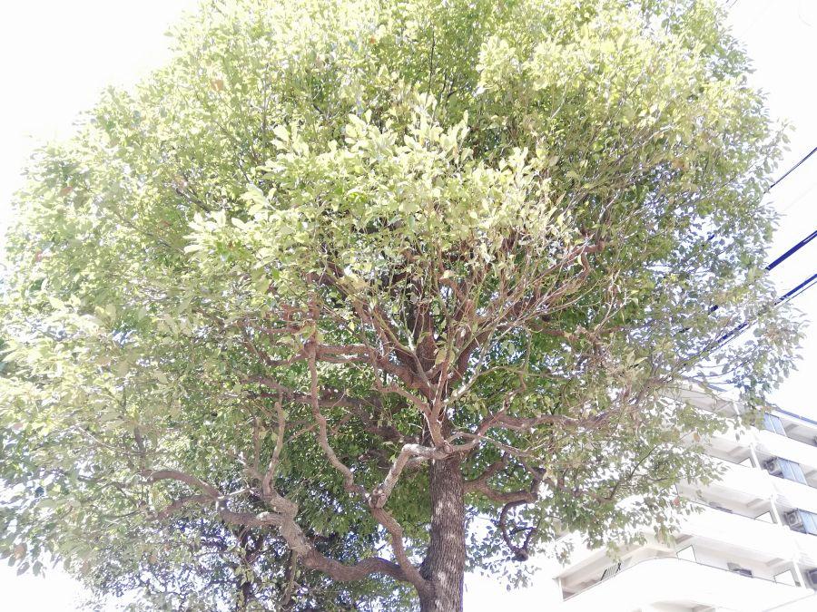 東三はなみずき児童公園 大きな木