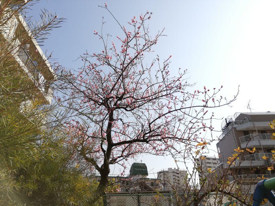 南二和児童公園 梅の木