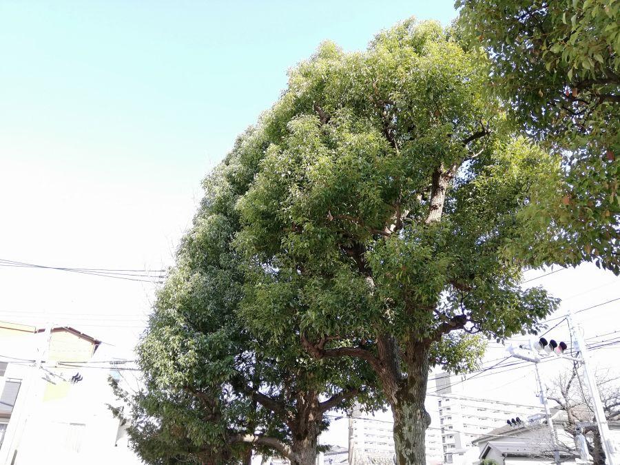 南六郷一丁目児童公園 大きな木