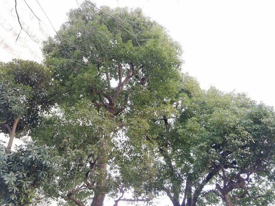 南光公園 大きな木
