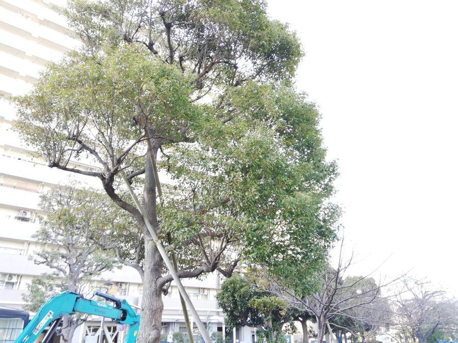 南六郷緑地 大きな木