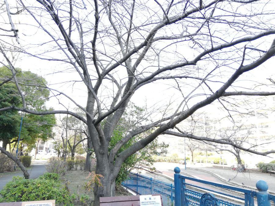 南六郷緑地 桜の木