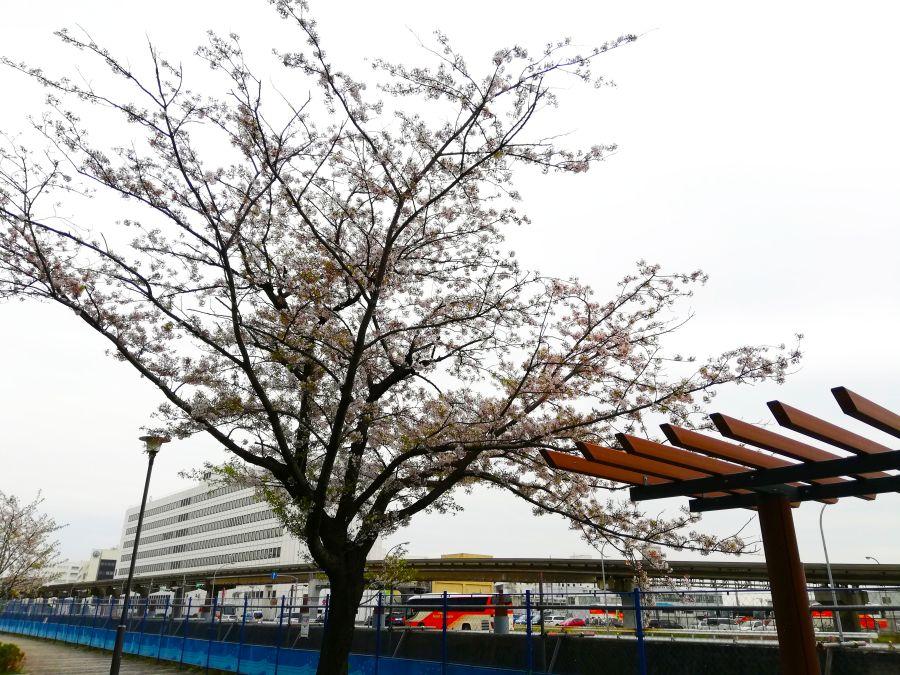 あさひ海老取川公園 桜