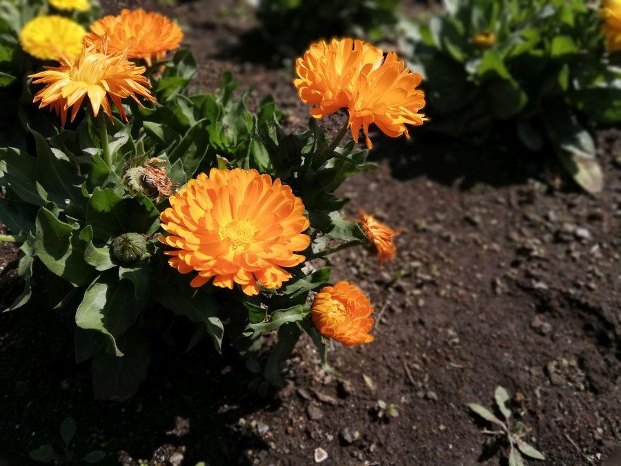 本羽田本町公園 お花